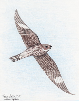 Common Nighthawk - Drawing by Terry Sohl