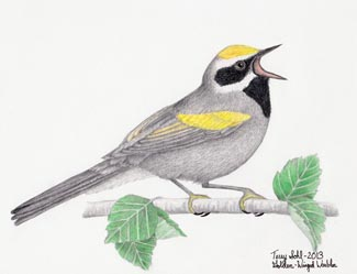 Golden-winged Warbler - Drawing by Terry Sohl