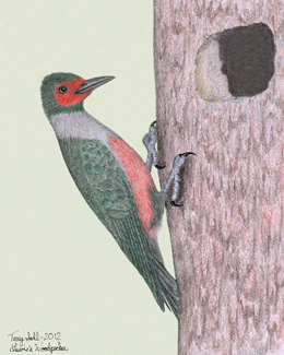 Lewis's Woodpecker - Drawing by Terry Sohl