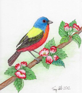 Painted Bunting - Drawing by Terry Sohl