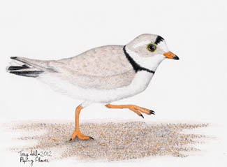 Piping Plover - Drawing by Terry Sohl