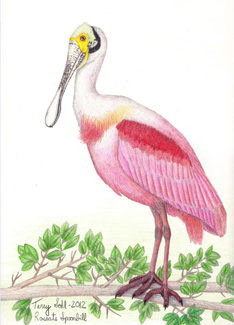 Roseate Spoonbill - Drawing by Terry Sohl
