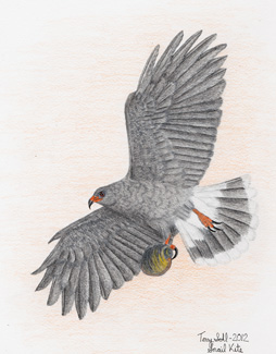 Snail Kite - Drawing by Terry Sohl