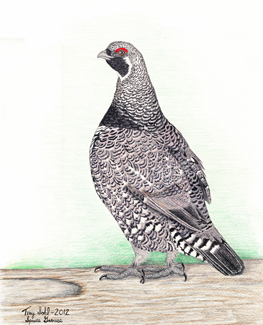 Spruce Grouse - Drawing by Terry Sohl