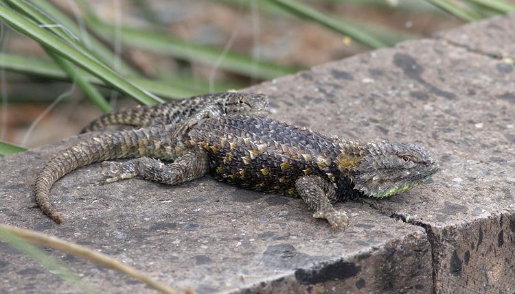 Desert Spiny Lizard Desert spiny lizard