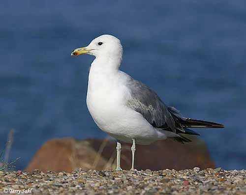 Gull With Black And Red Neck Ring