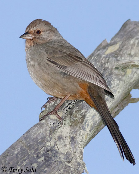 California Towhee - Species Information and Photos