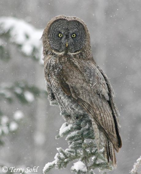 Great Gray (Grey) Owl - Strix nebulosa