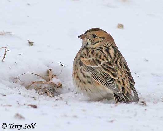McCown's Longspur | Audubon Field Guide
