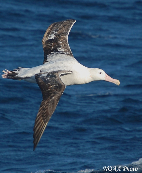 Wandering Albatross - Species Information and Photos