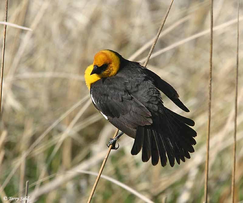 Yellow Headed Blackbird Range Yellow-headed Blackbir...