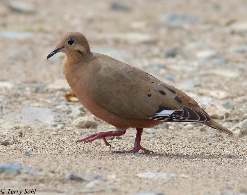 zenaida dove - photo #37