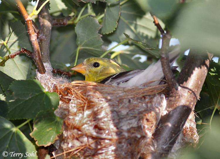 american goldfinch nest - photo #12