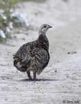 Sharp-tailed Grouse - Tympanuchus phasianellus