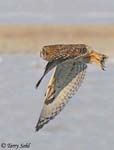 Short-eared Owl in Flight - Asio flammeus