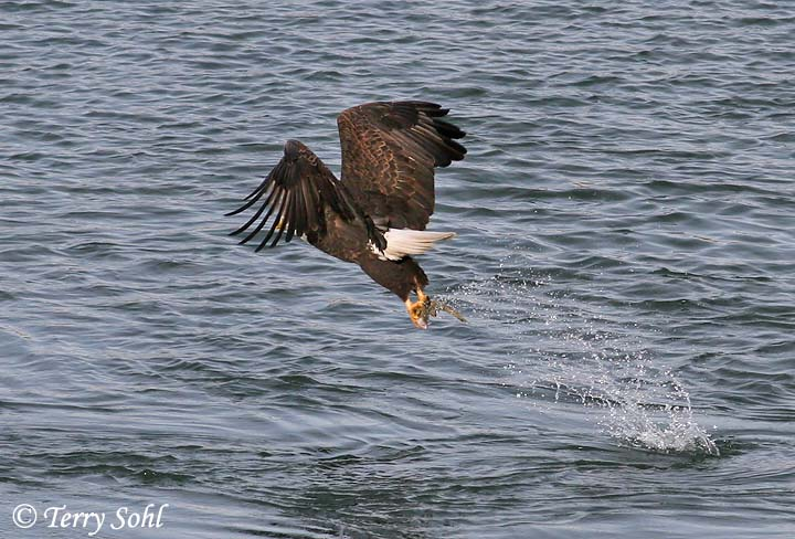 Bald Eagle Catching Fish http://www.sdakotabirds.com/species_photos/raptors/bald_eagle_12.htm