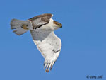 Ferruginous Hawk in Flight - Buteo regalis
