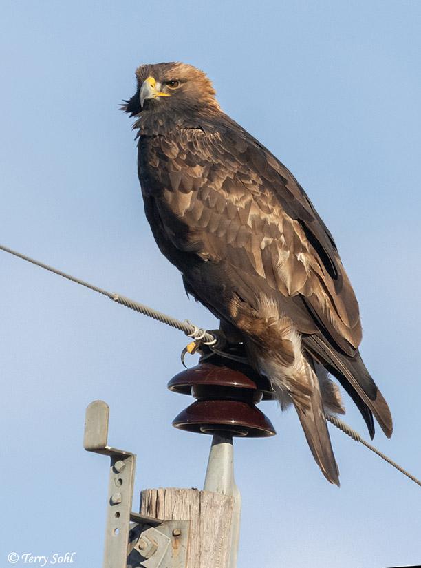 Golden Eagle - South Dakota Birds