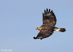 Rough-legged Hawk - Buteo lagopus