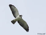 Short-tailed Hawk - Buteo brachyurus