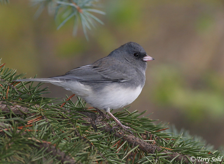 Dark-eyed Junco Photo - Photograph - Picture