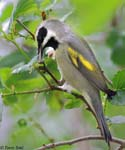 Golden-winged Warbler - Vermivora chrysoptera