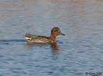 Green-winged Teal 1 - Anas crecca
