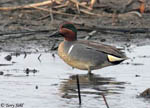 Green-winged Teal 2 - Anas crecca