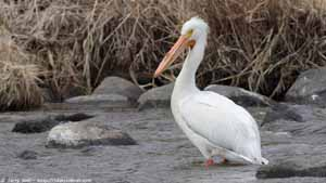American White Pelican - Screen Background