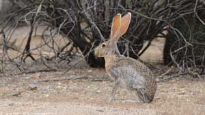 Antelope Jackrabbit - Screen Background
