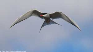 Arctic Tern - Screen Background