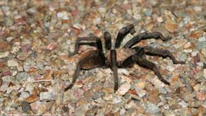 Arizona Blonde Tarantula - Screen Background