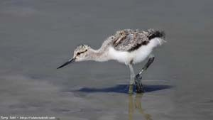 Baby American Avocet - Screen Background