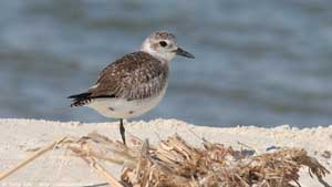 Black-bellied Plover - Screen Background