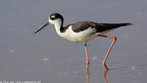 Black-necked Stilt - Screen Background