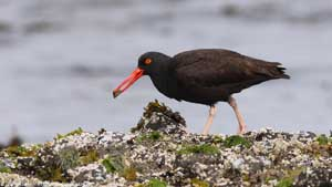 Black Oystercatcher - Screen Background
