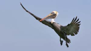 Brown Pelican - Screen Background