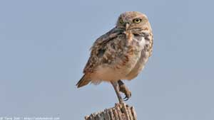 Burrowing Owl - Screen Background