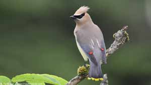 Cedar Waxwing - Screen Background