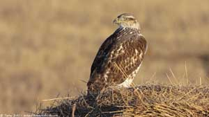Ferruginous Hawk - Screen Background