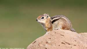 Golden-mantled Ground Squirrel - Screen Background