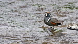 Harlequin Duck - Screen Background
