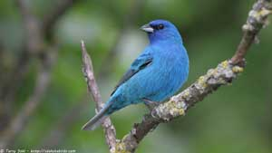 Indigo Bunting - Screen Background