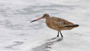 Marbled Godwit - Screen Background