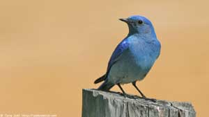 Mountain Bluebird Male - Screen Background