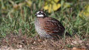 Northern Bobwhite - Screen Background