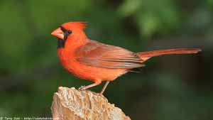 Northern Cardinal - Screen Background