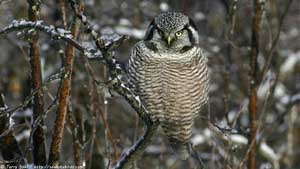 Northern Hawk Owl - Screen Background