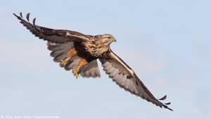 Rough-legged Hawk - Screen Background