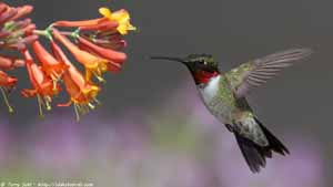 Ruby-throated Hummingbird - Screen Background
